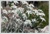 <p>Эдельвейсы (Leontopodium alpinum).</p>