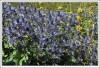 <p>Цветы Erygnium alpinum (фиолетовый чертополох).</p>