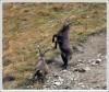 <p>Дерущиеся ибексы в долине Валь Трупчун.</p>